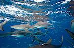 Frenzy of Caribbean Reef Sharks Stock Photo - Premium Royalty-Free, Artist: Transtock, Code: 614-06002591