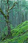 Moss and Trees, Reginald Hill, Salt Spring Island, British Columbia, Canada Stock Photo - Premium Royalty-Free, Artist: J. A. Kraulis, Code: 600-06009096