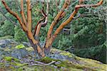 Arbutus Trees, Reginald Hill, Salt Spring Island, British Columbia, Canada Stock Photo - Premium Royalty-Free, Artist: J. A. Kraulis, Code: 600-06009101