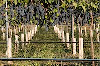 Grapes in vineyard Stock Photo - Premium Royalty-Freenull, Code: 693-06014759