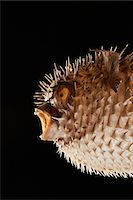 spike - Taxidermal inflated puffer fish, studio shot, cropped Stock Photo - Premium Royalty-Freenull, Code: 693-06018916