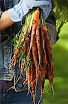 Person holding bunch of carrots outdoors, mid section Stock Photo - Premium Royalty-Free, Artist: Cultura RM, Code: 693-06019359