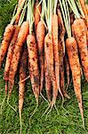 Freshly picked carrots on lawn Stock Photo - Premium Royalty-Free, Artist: ableimages, Code: 693-06019361