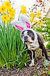Dog with bunny ears and daffodils Stock Photo - Premium Royalty-Free, Artist: CulturaRM, Code: 673-06025337