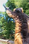 Red ruffed lemur (Varecia rubra) Stock Photo - Premium Royalty-Free, Artist: Alberto Biscaro, Code: 632-06029521