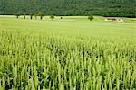Wheat field Stock Photo - Premium Royalty-Free, Artist: Dan Jurak, Code: 632-06030259