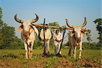 plow - Farmers ploughing tobacco (Nicotiana) fields with traditional plough and cattle (Ankole-Watus), Gujarat, India, Asia Stock Photo - Premium Rights-Managednull, Code: 841-06030836