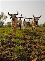 plow - Young tobacco (Nicotiana) plants with traditional plough and cattle (Ankole-Watus), Gujarat, India, Asia Stock Photo - Premium Rights-Managednull, Code: 841-06030837
