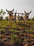 Young tobacco (Nicotiana) plants with traditional plough and cattle (Ankole-Watus), Gujarat, India, Asia Stock Photo - Premium Rights-Managed, Artist: Robert Harding Images, Code: 841-06030837