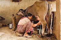 Milking the cow, Saijpur Ras, Gujarat, India, Asia Stock Photo - Premium Rights-Managed, Artist: Robert Harding Images, Code: 841-060
