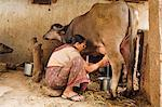 Milking the cow, Saijpur Ras, Gujarat, India, Asia Stock Photo - Premium Rights-Managed, Ar