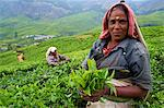Tamil worker on a tea plantation, Munnar, Kerala, India, Asia Stock Photo - Premium Rights-Managed, Artist: Robert Harding Images, Code: 841-06032993