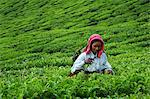 Tamil worker on a tea plantation, Munnar, Kerala, India, Asia Stock Photo - Premium Rights-Managed, Artist: Robert Harding Images, Code: 841-06032995