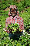 Tamil worker on a tea plantation, Munnar, Kerala, India, Asia Stock Photo - Premium Rights-Managed, Artist: Robert Harding Images, Code: 841-06032997