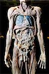 Plastinated Male Human Body Without Skin or Fat Tissue Stock Photo - Premium Rights-Managed, Artist: Emanuele Ciccomartino, Code: 700-06038093