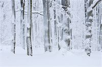 snow covered trees - Snow Covered Tree Trunks in Forest, Rhoen, Rhon Mountains, Hesse, Germany Stock Photo - Premium Royalty-Freenull, Code: 600-06038312