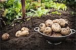 Bowl of unearthed potatoes in garden Stock Photo - Premium Royalty-Free, Artist: Glowimages, Code: 649-06040081
