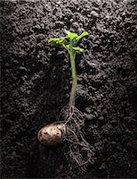 Potato with roots and leaves in dirt Stock Photo - Premium Royalty-Freenull, Code: 649-06040087