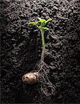 Potato with roots and leaves in dirt Stock Photo - Premium Royalty-Free, Artist: Glowimages, Code: 649-06040087