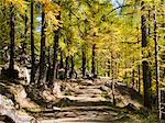 Trail in a larches forest Stock Photo - Premium Royalty-Free, Artist: Minden Pictures, Code: 6106-06042226