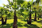 grove of palms, Mallorca Stock Photo - Premium Royalty-Free, Artist: IIC, Code: 6106-06042535