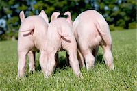 Three piglets in field, rear view Stock Photo - Premium Royalty-Freenull, Code: 614-06043395