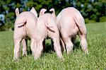 Three piglets in field, rear view Stock Photo - Premium Royalty-Free, Artist: David & Micha Sheldon, Code: 614-06043395