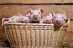 Five piglets in basket Stock Photo - Premium Royalty-Free, Artist: Minden Pictures, Code: 614-06043437