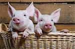 Two piglets in basket, close up Stock Photo - Premium Royalty-Free, Artist: David & Micha Sheldon, Code: 614-06043443