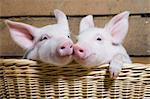 Two piglets in basket, close up Stock Photo - Premium Royalty-Free, Artist: Minden Pictures, Code: 614-06043445