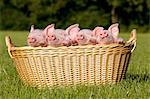 Four piglets in basket Stock Photo - Premium Royalty-Free, Artist: Minden Pictures, Code: 614-06043484