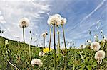 Dandelion clocks in field Stock Photo - Premium Royalty-Free, Artist: Dan Jurak, Code: 614-06044185