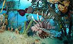 Lionfish in Unnatural Habitat Stock Photo - Premium Royalty-Free, Artist: Robert Harding Images, Code: 614-06044219