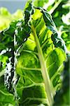 Close-up of Green Chard Stock Photo - Premium Royalty-Free, Artist: Yvonne Duivenvoorden, Code: 600-06059752