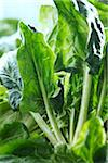 Close-up of Spinach Stock Photo - Premium Royalty-Free, Artist: Yvonne Duivenvoorden, Code: 600-06059755
