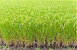 Paddy rice in field, Thailand Stock Photo - Royalty-Free, Artist: FrameAngel                    , Code: 400-06060521