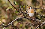 Goldfinch (Carduelis carduelis) perched on a branch Stock Photo - Royalty-Free, Artist: chris2766                     , Code: 400-06062021