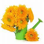 Sunflower arrangement in a lime green decorative watering can on a white background. Stock Photo - Royalty-Free, Artist: marilyna                      , Code: 400-06062706