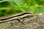 Skink in garden or in green nature