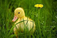 Little yellow duckling on the green grass Stock Photo - Royalty-Freenull, Code: 400-06063057