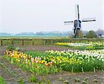 windmill with tulips and daffodils near Offem, Netherlands