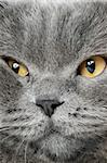 Closeup photo of a quiet British cat. White  background Stock Photo - Royalty-Free, Artist: grauvision                    , Code: 400-06070311