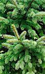 prickly needles of a coniferous tree as a natural background