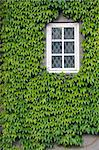 Wall of a house with window covered with ivy Stock Photo - Royalty-Free, Artist: Goodday                       , Code: 400-06071587