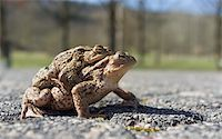 people mating - Couple Of mating Toads  in spring season Stock Photo - Royalty-Freenull, Code: 400-06077507