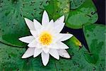 White water lily with leaf, blossoming Stock Photo - Royalty-Free, Artist: dinozzaver                    , Code: 400-06079061