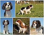 composite picture of purebred cavalier king charles Stock Photo - Royalty-Free, Artist: cynoclub                      , Code: 400-06079859