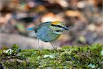 beautiful female blue pitta (Pitta cyanea) Stock Photo - Royalty-Free, Artist: cowboy54                      , Code: 400-06080562