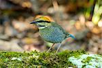 beautiful female blue pitta (Pitta cyanea) Stock Photo - Royalty-Free, Artist: cowboy54                      , Code: 400-06080563