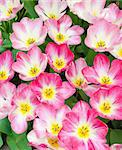 top view of blooming pink tulips, can be used as a background Stock Photo - Royalty-Free, Artist: hansenn                       , Code: 400-06081331